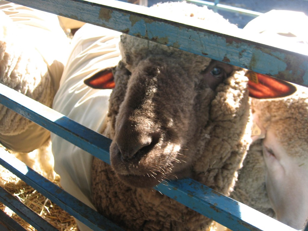 The friendliest sheep, in a canvas jacket